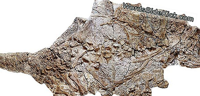 Giant Gepantserde Dinosaurus Opgegraven In China