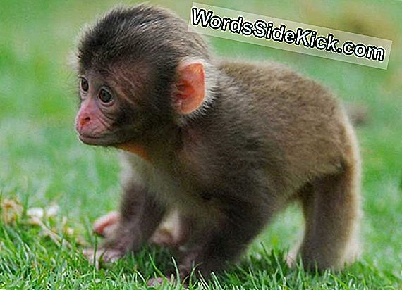 Cute Alert! Monkey Baby Boom Hits Scottish Zoo