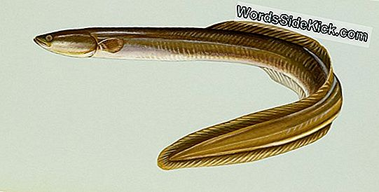 Mysterious Eels 'Mating Migration Tracked