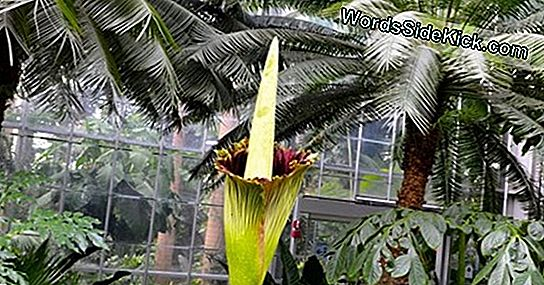 Foul Corpse Flower Bloeit In Washington