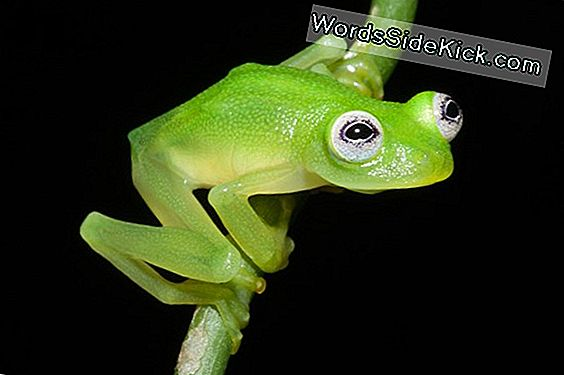 Kermit The Frog Look-Alike Ontdekt In Costa Rica