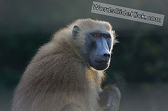 6 Brainy Baboons Pick Words From Gibberish
