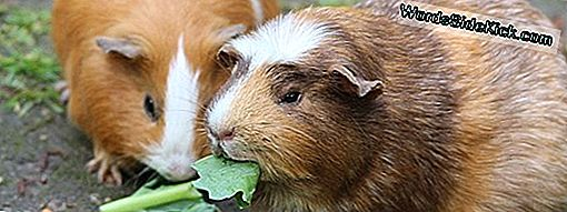 Pocket Pets: Early Explorers Brought Guinea Pigs To Europe