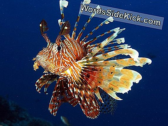 Deep-Diving Robots Zap, Kill Invasive Lionfish