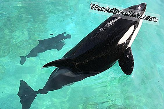 Killer Impression: Orca Mimics 'Hello' En 'Bye-Bye'