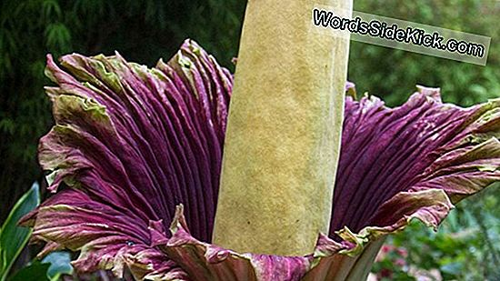 Live Schauen: Stinky Corpse Flower Blooming