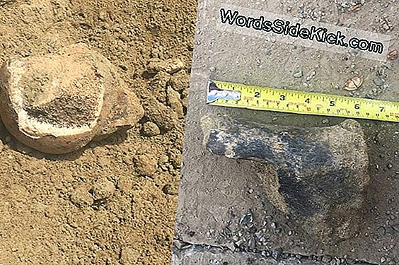 Ancient Sloth And Bison Fossils Verschijnen In La Metro Dig