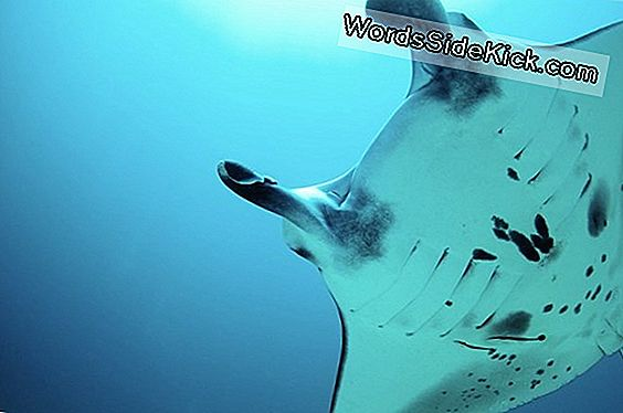 Baby Manta Rays 'Breathe' In Utero