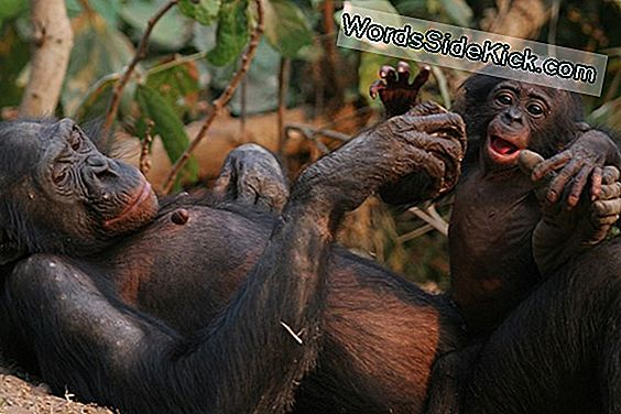 Bonobos Invade 'Planet Of The Apes' (Op-Ed)