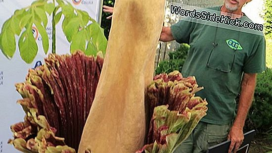 Bekijk Live: Stinky Corpse Flower Blooming