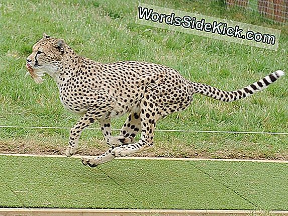 The Secret To Cheetahs 'Speedy Stride Found