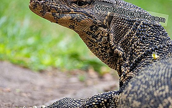 There Be Dragons: 6-Foot-Long Lizard Verschrikkelijk Florida Family