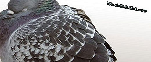 Bird Brains: Pigeons Gamble Just Like Humans