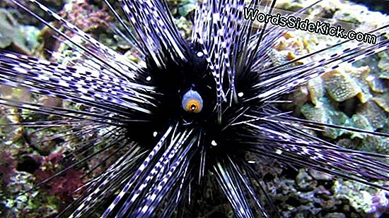 Body Of Sea Urchin Is One Big Eye