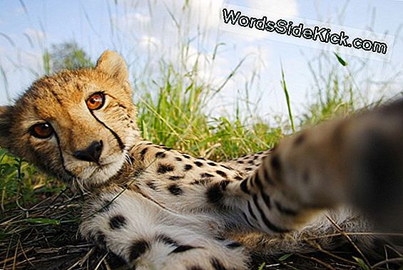 Mysterious Cheetah Disease Explained