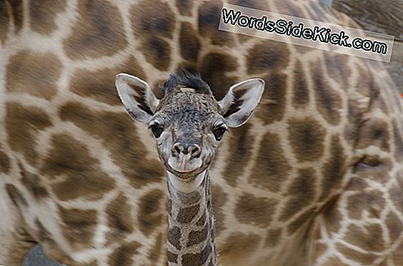 Giraffe Calf Geboren In Houston Zoo