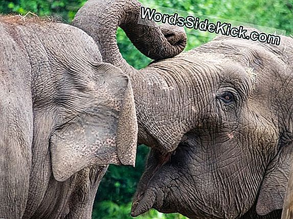 National Zoo Insemineert Aziatische Olifant Kunstmatig