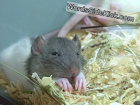 Scientists 'Engineer' Dreams In Rats
