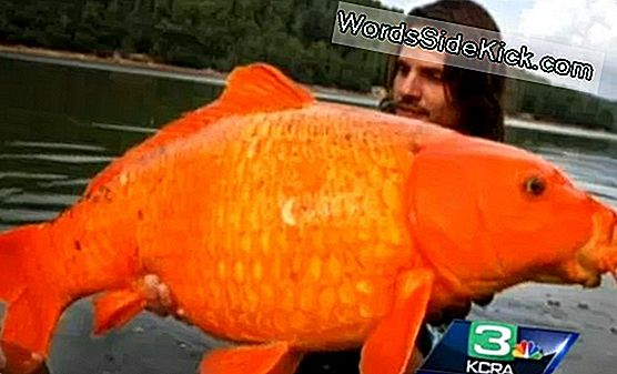 Monster Goldfish Gevonden In Lake Tahoe