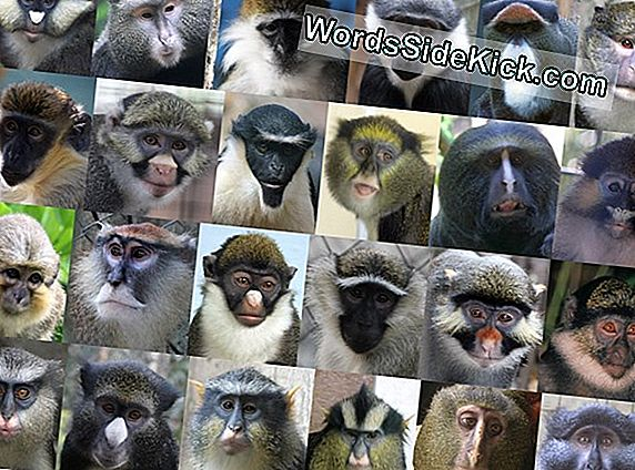 Gorgeous Faces Houd Guenon Monkeys From Sleeping Around