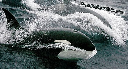 Killer Whales Gevangen In Prachtige Drone Footage (Video)