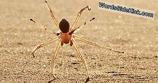 New Spider Species Cartwheels Down Sand Dunes
