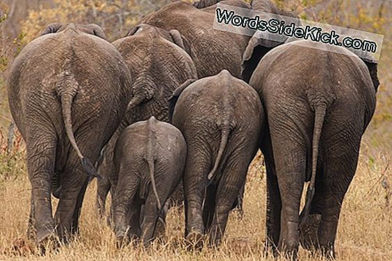 Big Distant Zoo Elephants: Too Much Junk In The Trunk