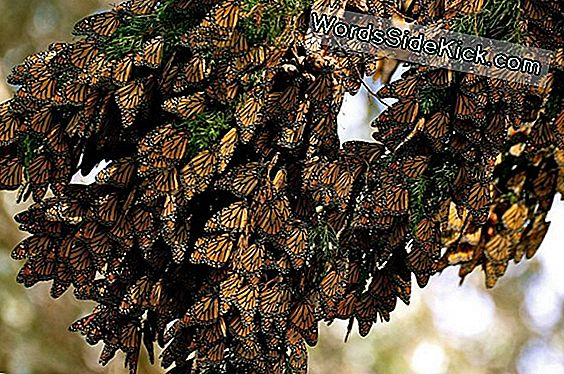 In Photos: The Spectacular Migration Of Monarch Butterflies