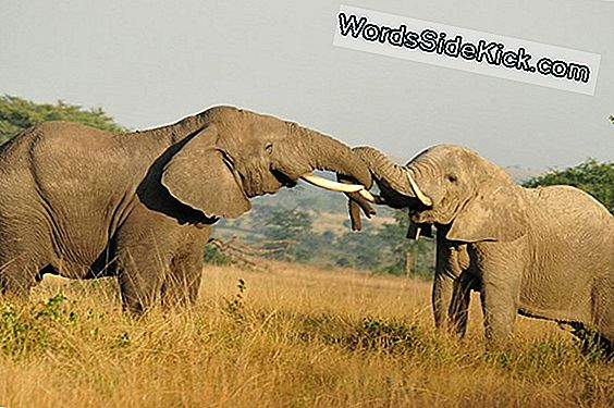 All Ears: Elephants Can Identify Human Languages