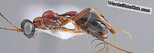 Angry Wasps Capture Indringing Ants, Fly Away, Airdrop Them