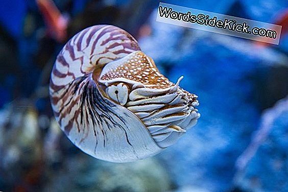 Animal Sex: How Nautiluses Do It