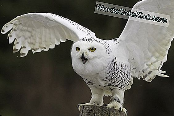 As Two Owls Flex Wings, Scientists Record And Learn