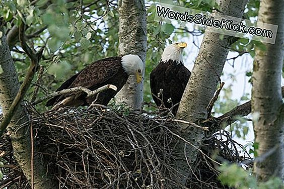 Bald Eagle Sex: The Acrobatic Mating Of America'S National Bird