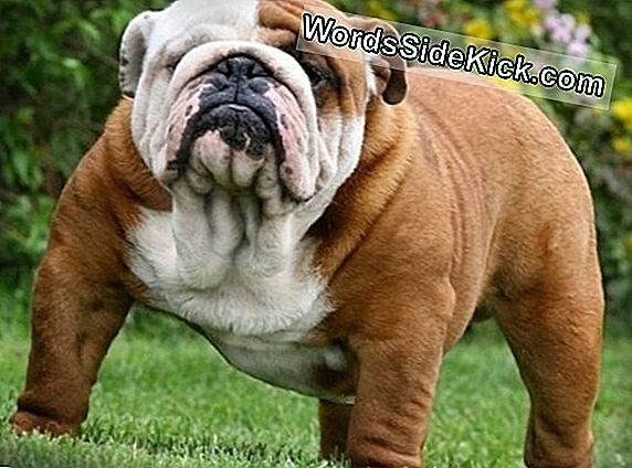 Bulldog'S Large Clitoris Stelt Genetic Mystery Voor