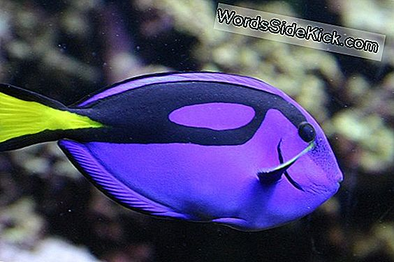 Feiten Over Regal Blue Tangs