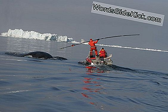 Whales Mingle Als Legendarische Noordwest Passage Smelt
