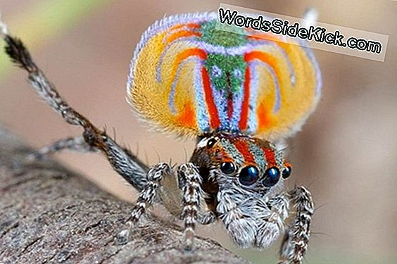 The Amazing Mating Dance Van The Peacock Spider