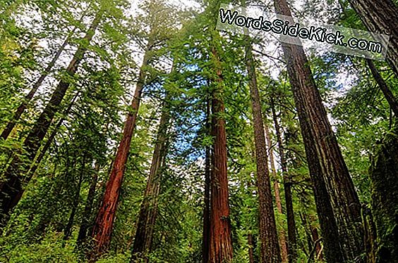 Giant Sequoias And Redwoods: The Largest And Tallest Trees