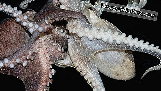 'Male' Octopus Broedt 10.000 Teensy Babies Uit In Surprise-Geboorte