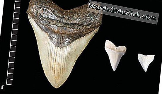 Giant Megalodon Shark Teeth May May Myths Geïnspireerd
