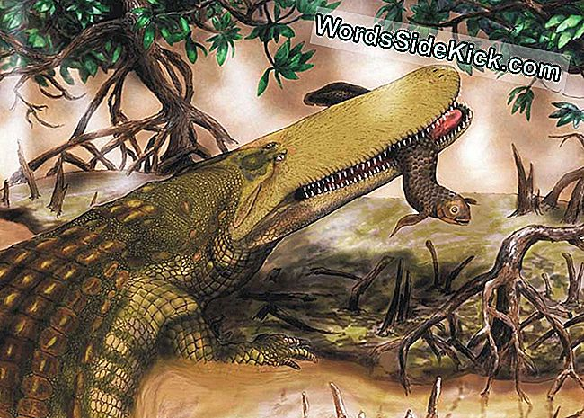 Ancient Monster Croc Sported Shield Na Skull