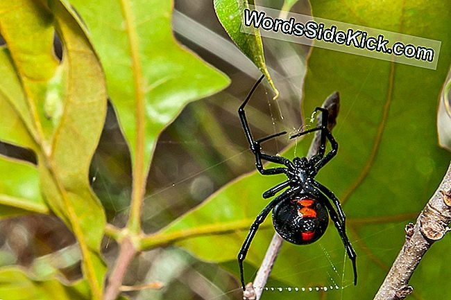 Black Widow Spiders Bringer Deres Gift Til Canada Som Planet Warms
