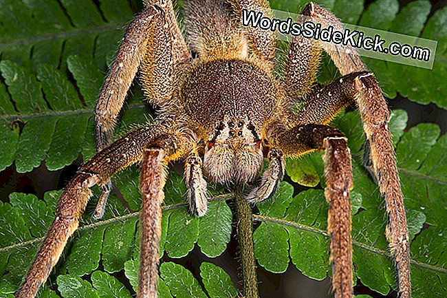 Brazilian Wandering Spiders: Bites & Other Facts