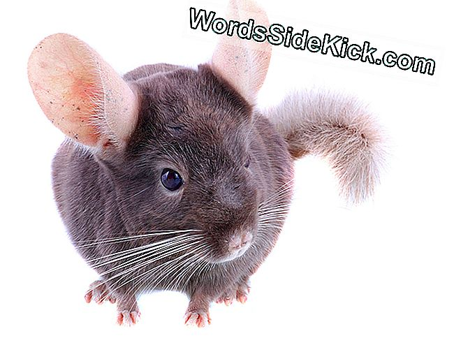 Faits Chinchilla: chinchillas