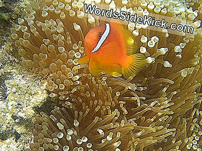 Dancing Nemo: Clownfish Wiggles Do Anemone Good