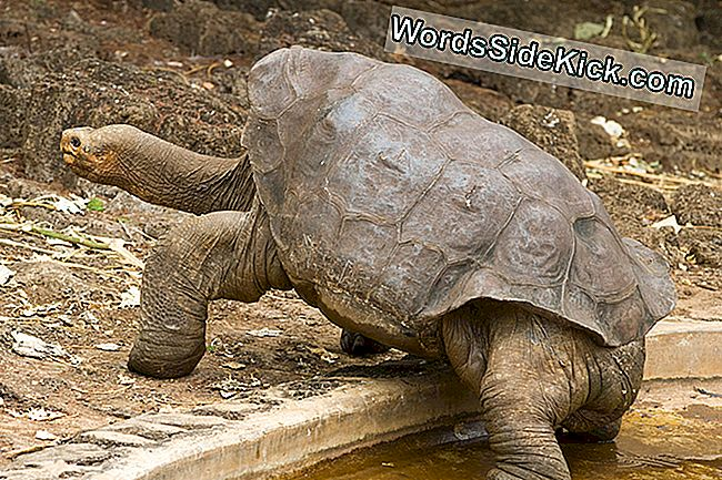 Tortue Des Galapagos 'Lonesome George' Pourrait Avoir Compagnie