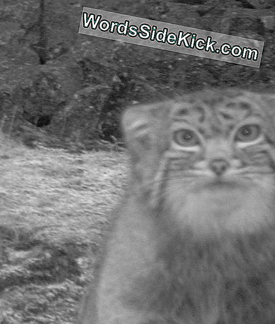 Subdolo Cat Caught On Camera In Himalaya