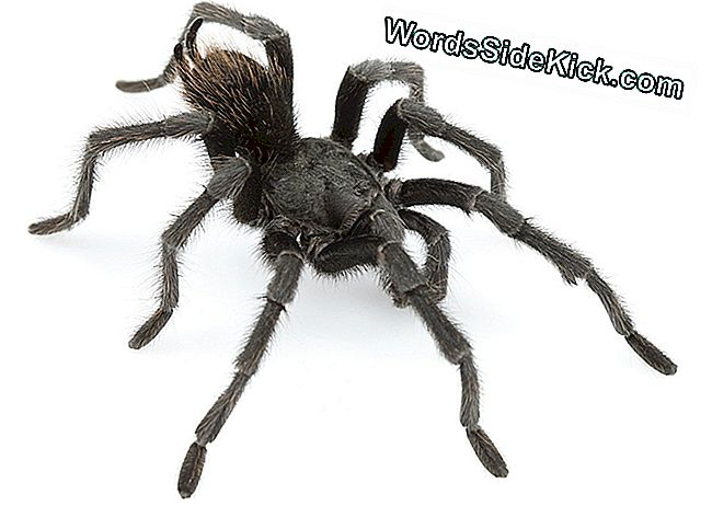 Tarantula In Black: Dark, Hairy Spider, Du Nom De Johnny Cash