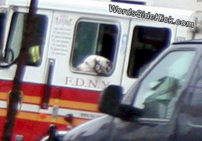Twenty the Dalmatian riding with FDNY's Ladder 20.