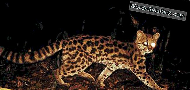 Wild Cat Mimics Monkey Lyder Til At Fange Prey
